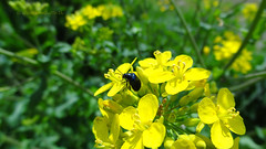 Leaf beetle on Rapeseed blossoms, Zeist, Netherlands - 1347 (HereIsTom) Tags: travel flowers holland nature netherlands dutch leaf spring europe view you sony blossoms beetle nederland cybershot views lente animalplanet bloemen rapeseed kever webshots koolzaad hx9v