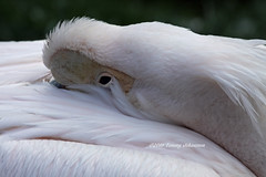 Tucked in for the evening (tommyajohansson) Tags: bird london birds geotagged zoo pelican oiseau tiergarten pajero vogel oiseaux londonzoo fglar fgel djurpark pajeros zsl zoologicalsocietyoflondon vogeln tommyajohansson regentspark zoolates