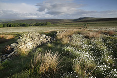 The wall on the moor (Thrift) Tags: trees heather heath moor moorland cottongrass
