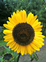 Bright and Beautiful (LoveTheBaby) Tags: brown black yellow garden sunflower