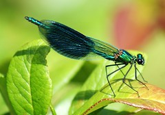 Demoiselle Agrion 'calopteryx virgo' Explored (Paul (Barniegoog)) Tags: nature dragonfly demoiselle damselfly odonata agrion