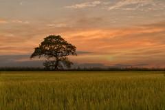 LONE TREE - FAREHAM (mark_rutley) Tags: sunset tree field barley farm wheat hampshire crop lone crops singletree lonetree lonelytree fareham the thelonetree