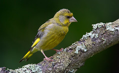 A healthy Greenfinch