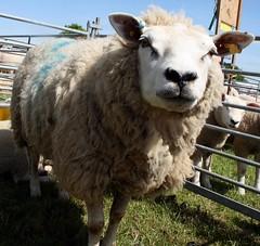 sheep (AJPEEBLES) Tags: show camera animal countryside sheep farm farming meat cannon coventry warwickshire kenilworth