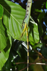 Vine snake eating iguana (Pasha Kirillov) Tags: costarica snakeeating brownvinesnake oxybelisaeneus cahuitanationalpark Geo:country=costarica Taxonomy:binomial=oxybelisaeneus