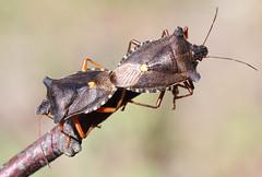 Red-legged Shieldbugs mating (Wild Chroma) Tags: sweden pair insects mating shieldbug pentatoma pentatomarufipes rufipes jarvafaltet