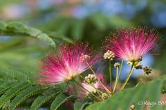 Fleurs de l'albizia (Rgis B 31) Tags: fleur jardin albizia arbredesoie mimosadeconstantinople