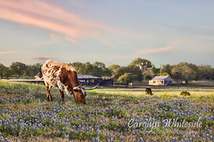Longhorn Evening Light