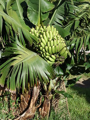 Anglų lietuvių žodynas. Žodis dwarf banana reiškia nykštukas bananų lietuviškai.