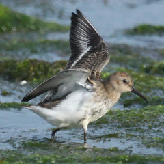 I'm In A Hurry! by Linda Nicholson (P&L Nicholson Photography) Tags: sea bird birds calidris alpina juvenile isles shetland dunlin fetlar