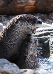 River Otters Play