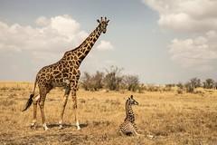 Maasai Mara National Reserve (MC_photopics) Tags: kenya mara giraffe masai