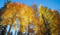 Fall aspens-1 (RogerDellinger) Tags: colorado aspens