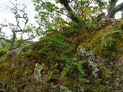 Polypody (Polypodium vulgare), Taynish NNR (Niall Corbet) Tags: fern forest woodland scotland argyll nnr nationalnaturereserve polypody polypodiumvulgare taynish