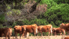 (hadewijch) Tags: portugal nature animal animals landscape cow scenery europe cattle cows land algarve creatures creature livestock bordeira 18200mmf3556 dairycattle nikond90