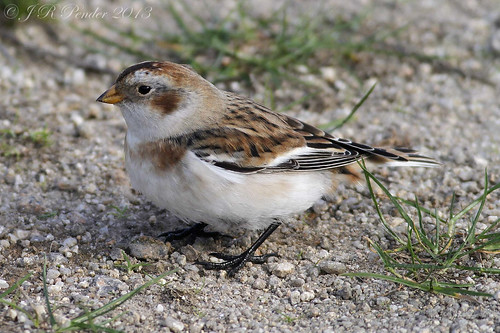 """Snow Bunting (J.Pender) • <a style=""""font-size:0.8em;"""" href=""""http://www.flickr.com/photos/30837261@N07/10307300586/"""" target=""""_blank"""">View on Flickr</a>"""