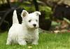 Floppy ear (sarniebill1) Tags: copyright misty scotland fife westie full westhighlandwhiteterrier westhighlandterrier floppyear westiepuppy abigfave puppytraining fabuleuse sarniebill1 sunrays5 nigelwedge