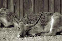 RECYCLEDFACES13 - Gnu (Vitali Andrea) Tags: portrait bw parco white black face animal zoo faces recycled bn 13 bianco ritratto nero animali gnu delle cornelle