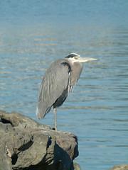 heron (Jef Poskanzer) Tags: bird heron geotagged greatblueheron geo:lon=12231777 geo:lat=3787475
