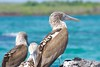 "_DSC5781  ""Blue-footed Booby"" ""Piquero Patas Azules""      3.1k (ChanHawkins) Tags: galapagos patas april pm bay"" 11"" booby"" ""bluefooted azules"" ""piquero ""thurs ""isabellaelizabeth"