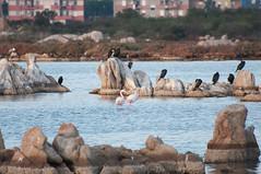 DSC_7639.jpg (Ferraris Clemente) Tags: sardegna wild birds sardinia uccelli pinkflamingo olbia stagno fenicotterirosa