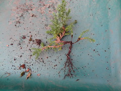 DSC06955 (jeremy_norbury) Tags: beds january bonsai growing patch repotting 2014