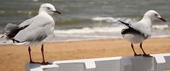 the gull (2) (bertknot) Tags: seagulls seagull gull gulls mwe gaviota meeuw meeuwen gabbiano gaivota goland ms lokki zeemeeuw mge zeemeeuwen mewa sirly dalg   diemwe mouettedupegolandgolandbeccerclgolandargentgolandcendrgolandmarinmouetterieuse zeemeeuwenmeeuw