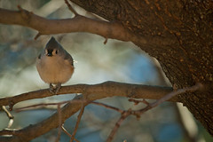 Cold little Tufted Titmouse (Scattered Focus) Tags: winter cold bird nature outdoors tuftedtitmouse