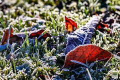 Frosted leaves -  2014 Jean-Franois Schmitz (JF Schmitz) Tags: autumn winter sky sun sunlight cold leave nature ecology leaves frozen scenery frost skies freezing environment environmentalism ecosystem environnement characteristics cologie cosystm