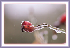 Weather Effect (bigbrowneyez) Tags: winter red cold ice nature wet rain weather wonderful droplets branch bright bokeh january natura frame icy rosehips cornice weathereffect