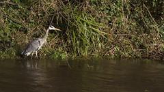 IMG_8851b350D (Wendy:) Tags: heron river 350d january kitlens highwater dodder spate
