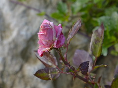 Rosa di Capodanno (costagar51) Tags: palermo palazzoadriano sicilia italy natura italia piante sicily fiori colourartaward rgsnatura regionalgeographicsicilia flickrsicilia contactgroups