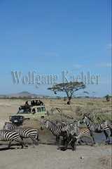 10072072 (wolfgangkaehler) Tags: africa african eastafrica eastafrican tanzania tanzaniaafrica tanzanian serengetitanzania serengeti serengetinationalpark nationalpark wildlife mammal zebra burchellszebra burchellszebraequusquagga burchellszebras drinkingwater drinking river riverbank water herd people tourist tourism safari safarivehicle safarijeep travel adventure {vision}:{mountain}=0755 {vision}:{outdoor}=099 {vision}:{clouds}=0595 {vision}:{sky}=0791 {vision}:{beach}=0516