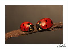 Ladybug series (dhubhe) Tags: macro sony sigma ladybug 70 mariquita a700