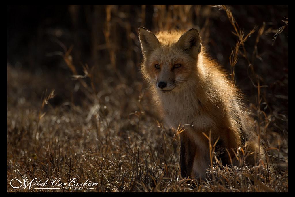 Illuminated Red Fox