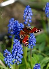 Peacock_filtered (Sanglier58) Tags: butterfly peacock io grape hyacinth aglais