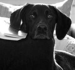 Treuer Blick (borntobewild1946) Tags: blackandwhite bw dog hund sw schwarzweiss jacky hundekopf rde treu brav hundeblick deutschkurzhaar maledog hundeportrait treuerblick copyrightbyberndloosborntobewild1946