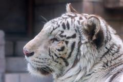 Rocky ♂ - Camera-shy (Belteshazzar (AKA Harimau Kayu)) Tags: rocky kara tiger zoo animal bigcat bigcats feline bengaltiger pantheratigristigris königstiger indischertiger eltigredebengala tigredubengale latigrerealedelbengala бенгальскийтигр 孟加拉虎 whitetiger weisertiger tigreblanco tigreblancroyal белыйтигр 孟加拉白虎 zooshot tobu tobuzoo snowwhite sunbathing canada playful playfulcat playfultiger playfulwhitetiger bengal genesimmons rockstar