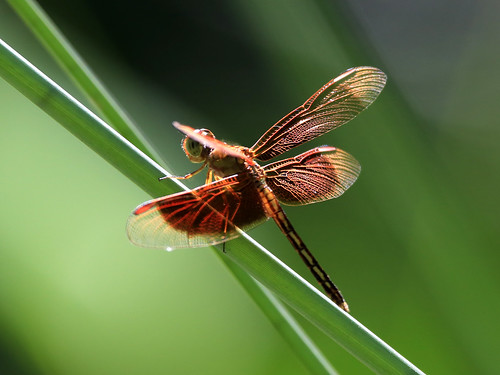 Painted Grasshawk (Neurothemis stigmatizans) male