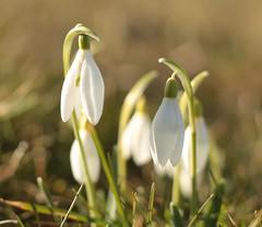 Snowdrops (annapolis_rose) Tags: flickrfriday earlyspringsigns snowdrops flower cemetery flfrok