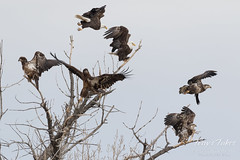 March 3, 2017 - A sextet of Bald Eagles takes flight. (Tony's Takes)