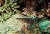 Unknown fish, someone knows me say that species is? Pesce sconosciuto, qualcuno sà dirmi di che specie sia? (omar.flumignan) Tags: kostrena under water diving canon g7xmk2 fantasea fg7xmk2 ikelite ds51 hrvatska croatia croazia immersione unknow sconosciuto pesce fisch