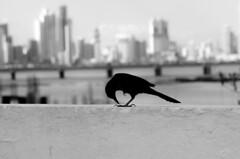 Panama grackle (E-C-K ART) Tags: panama city landscape cat old town casco viego historic centre streets bird grackle black white mono chrome
