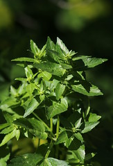 Annual Mercury (Mercurialis annua) - Euphorbiaceae - Ghadira Nature Reserve, Malta (Malta)