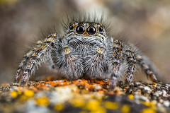 Philaeus chrysops (Little Boy 09) Tags: canon eos 60d mpe mpe65 macro macrodreams high magnification jumping spider