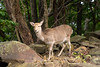 Biche de Yakushima (emmrichard) Tags: animaux mammifères natureetpaysage daim macaquejaponais singe yakushima kyushu japon