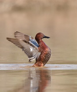Drake Cinnamon teal wing flap Gilbert water ranch az