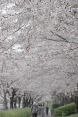 Pentax K-3 Springtime Cherry Tree 桜 春 at 小松川千本桜