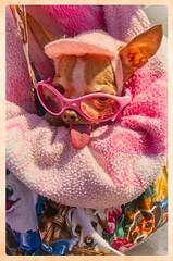 DOG (akahawkeyefan) Tags: dog chihuahua davemeyer pacificgrove crazy insane demented