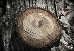 Tree III (Alexander Day) Tags: tree trees wood bark desaturation rings alex alexander day duke farms new jersey